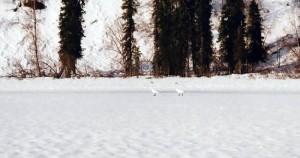 denali-view-adventures-snow-swans